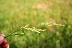 fescue seed