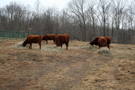 Winter feeding paddock yearlings