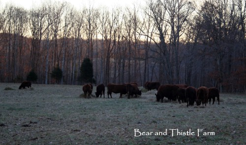 Cold November morning feeding hay 2