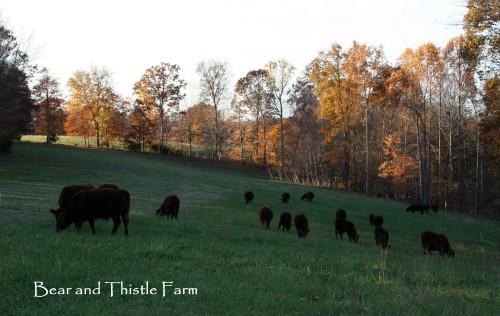 Last rotation West Pasture 5 Nov